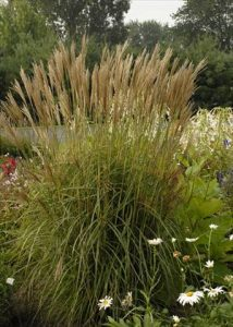 Walters-Miscanthus-sinensisNippon