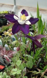 Purple-Columbine-Cropped