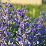 Baptisia-Blueberry-Sundae-red-granite-farm-boone-iowa
