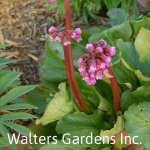 Bergenia-Winter-Glow-red-granite-farm-boone-iowa