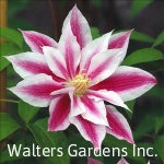 Clematis-Andromeda-red-granite-farm-boone-iowa