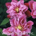Clematis-Piilu-red-granite-farm-boone-iowa