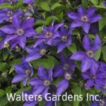 Clematis-The-President-red-granite-farm-boone-iowa