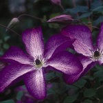 Clematis-VenosaViolacea-red-granite-farm-boone-iowa