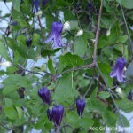 Clematis-rugoshi-red-granite-farm-boone-iowa