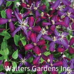 Clematis-sweet-summer-love-red-granite-farm-boone-iowa