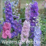 Delphinium-NEW-MILLENNIUM-Dwarf-Stars-red-granite-farm-boone-iowa