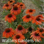 Echinacea-Julia-red-granite-farm-boone-iowa
