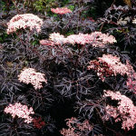 Elderberry-BlackLace-red-granite-farm-boone-iowa