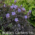 Geranium-Dark-Reiter-red-granite-farm-boone-iowa