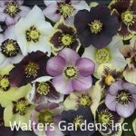 Helleborus-HONEYMOON-red-granite-farm-boone-iowa