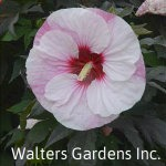 Hibiscus-Perfect-Storm-red-granite-farm-boone-iowa