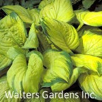Hosta-Stained-Glass-red-granite-farm-boone-iowa