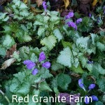 Lamium-Ghost-red-granite-farm-boone-iowa