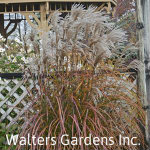 Miscanthus-Oktoberfest-red-granite-farm-boone-iowa