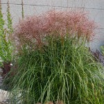 Miscanthussinensis-Red-Silver-Grass-red-granite-farm-boone-iowa