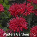 Monarda-Pardon-My-Cerise-red-granite-farm-boone-iowa