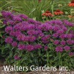 Monarda-Pardon-My-Purple-red-granite-farm-boone-iowa