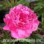 Paeonia-Kansas-red-granite-farm-boone-iowa