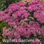 Sedum-MrGoodbud-red-granite-farm-boone-iowa