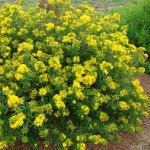 hypericum-colbalt-n-gold-red-granite-farm-boone-iowa