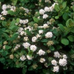 spirea-tor-birchleaf-red-granite-farm-boone-iowa