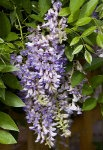 wisteria-summercascade-red-granite-farm-boone-iowa