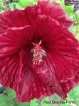 Cranberry-Crush-Hibiscus-red-granite-farm-boone-iowa