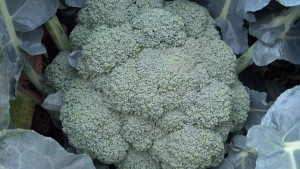 Veg-broccoli-red-granite-farm