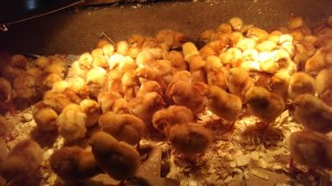 baby-chicks-lots-red-granite-farm