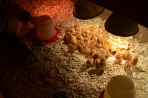 baby-chicks-under-the-lights-red-granite-farm