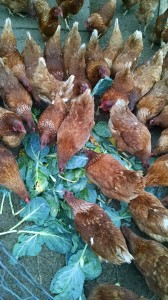 chickens-no-waste-red-granite-farm